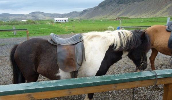 Islandpferde reiten (c) islandrundreisen